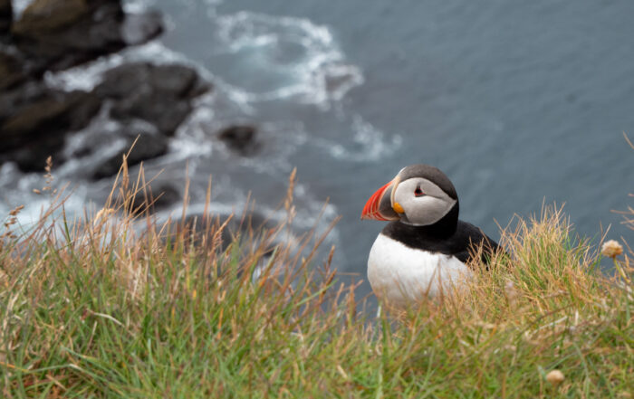Iceland Puffin